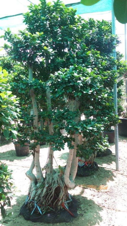 Ficus bonsai (2.0 - 2.3m Ht.)