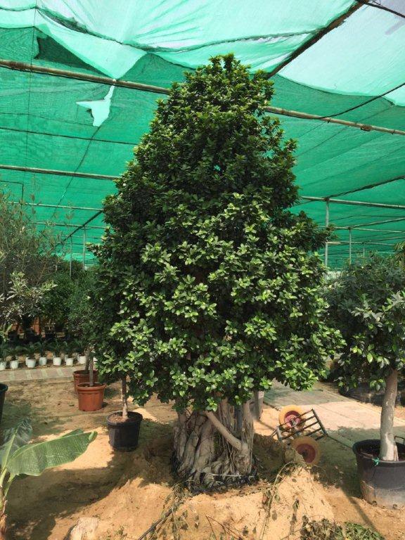 Ficus bonsai cone big (3.0 - 3.5m Ht,)=1