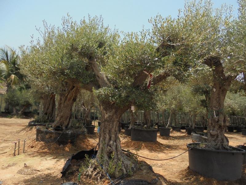 olea bonsai 300mm 2.5-3mtr qty