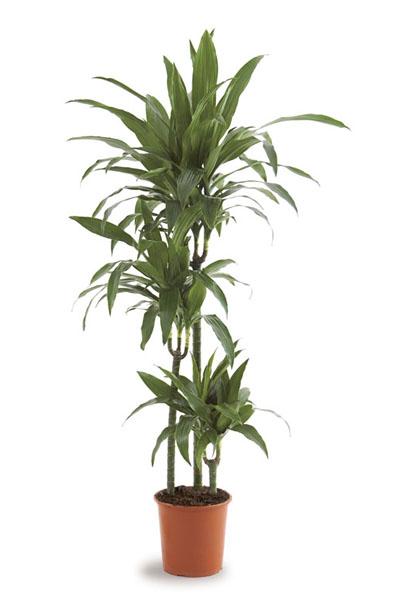 dracaena-janet-craig-plantscapes