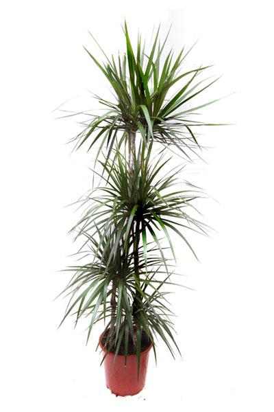 dracaena-marginata-branched-plantscapes