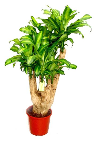 dracaena-massangeana-branched-plantscapes