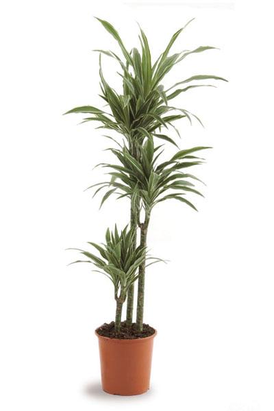 dracaena-warnakii-plantscapes