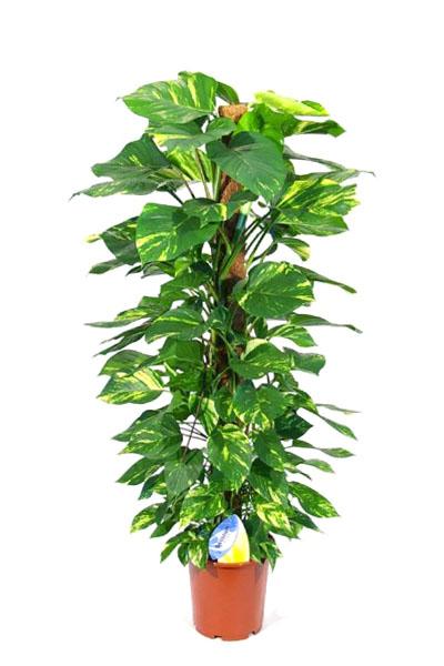 Epipremnum-Aureum-plantscapes