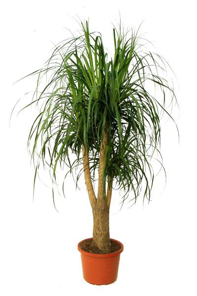 nolina-plantscapes