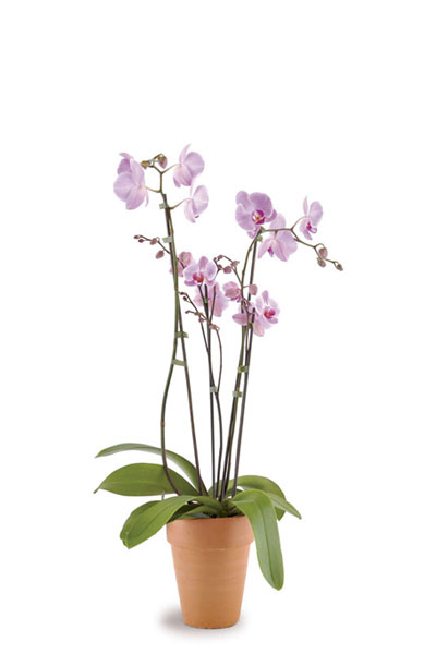 Phalaenopsis-Orchid-plantscapes