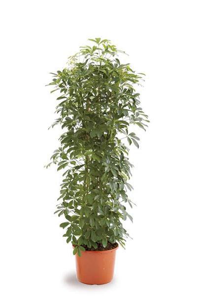 schefflera-plantscapes