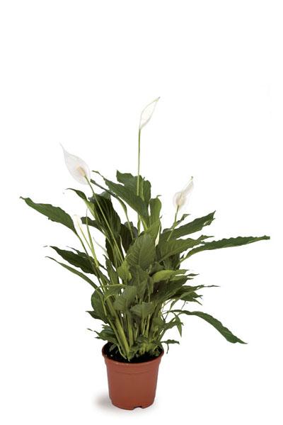 Spathiphyllum-plantscapes
