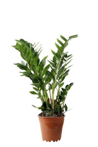 zamiocalcus-plantscapes
