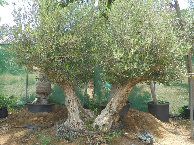 olea-2stems-plantscapes