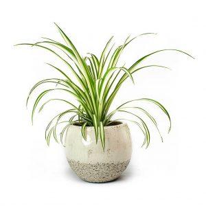 Chlorophytum Vittatum Femme Ivory Plant Pot 2000x