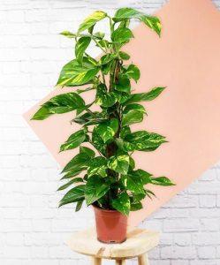Devils Ivy beardsanddaisies s e1602154379777