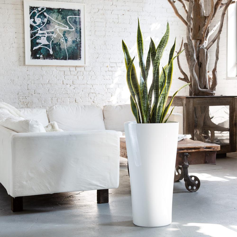 snake plant delta white