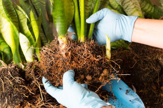 snake plant propagation 13